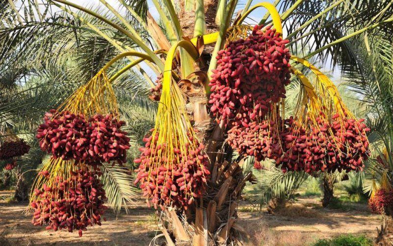Финики на пальме: как растут